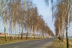 Birch alley along the road. Royalty Free Stock Photos
