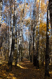 Birch alley in autumn Royalty Free Stock Images