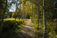 Birch Alley in Autumn at Sunny Day Royalty Free Stock Images