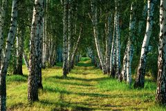 Birch alley on a beautiful sunny day. stock photos