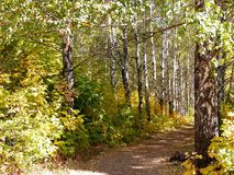 Birch alley royalty free stock photography
