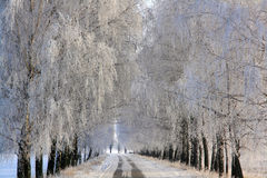 Birch alley covered with rime. Frosty morning, frost on the trees on birch alley Royalty Free Stock Photos