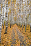 Birch alley Stock Image