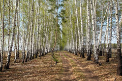 Birch alley in a green haze Royalty Free Stock Image