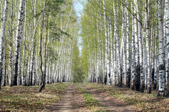 Birch alley in a green haze Royalty Free Stock Images