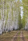 Birch alley in a green haze Stock Images
