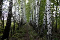 Birch Alley. Stock Photo