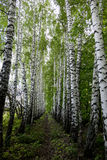 Birch Alley. Stock Photography