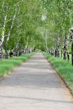 Birch alley in park Royalty Free Stock Image