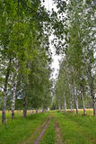 Birch alley Stock Photography