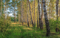 Birch alley in the rays of the evening sun. July evening Royalty Free Stock Photo