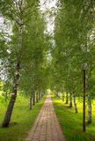 Birch alley with stone brick route Royalty Free Stock Photo