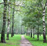 Birch alley in the summer forest. Birch alley in the summer mist forest Royalty Free Stock Images