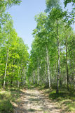 Birch alley in summer forest Royalty Free Stock Image