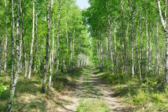 Birch alley in summer forest Stock Photo