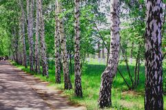 birch alley Stock Photos