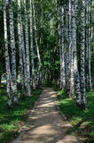 Birch alley in summer time Stock Photography