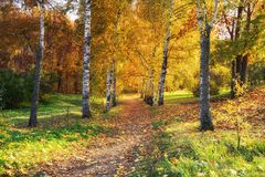 Sunny autumn in the park. Birch alley in the sunny autumn park Stock Image