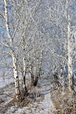 Birch in February Stock Image