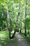 Birch alley Royalty Free Stock Photo