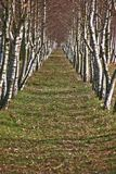 Birch alley Stock Photo
