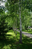 Birch alley. Alley birch trees on a siunny summer day Royalty Free Stock Photos