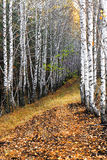 Birch alley in two rows in autumn Stock Photo