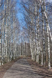 Birch alley. View of alley in park on a spring time. Royalty Free Stock Image