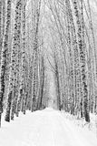 Birch alley in winter Royalty Free Stock Photos