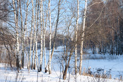 Birch alley in a winter forest Stock Image