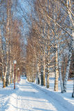 Birch alley in a winter park Royalty Free Stock Images