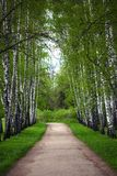 Birch alley Royalty Free Stock Photos