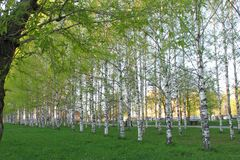 Birch alley with young light green foliage on a green lawn in the park in spring. Side view.  stock photos