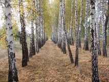 Birch alley2. Birch alley in Ukraine stock photos