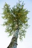 Birch apex royalty free stock photo