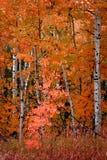 Birch Aspen Trees in Autumn Fall royalty free stock photos