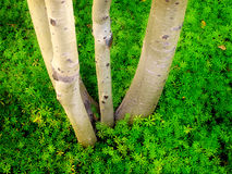 Birch Aspen Trees and Green Leaves Stock Photo