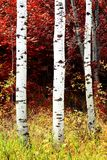 Birch Aspen Trees in Mountains Lush Landscape in Fall Autumn stock photos