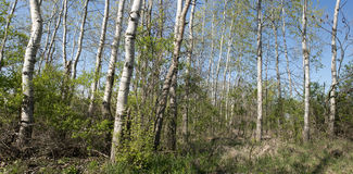 Birch or Aspen Trees Panoramic, Panorama, Banner Royalty Free Stock Images