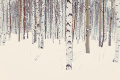 Birch and aspen in winter snow Royalty Free Stock Photo