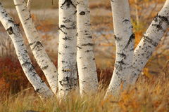 Birch in autumn Royalty Free Stock Photos