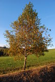 Birch in autumn Stock Photography