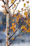 Birch in autumn. Birch trunk and leaves in autumn Stock Photo