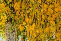 Birch in autumn Stock Photos