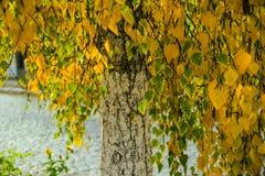 Birch in autumn Stock Photo