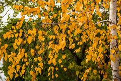 Birch in autumn Royalty Free Stock Photos