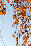 Birch in autumn, close-up Royalty Free Stock Photo