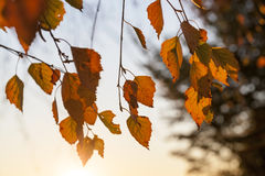 Birch in autumn, close-up Royalty Free Stock Photography