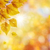 Birch_Autumn. Falling autumn birch leaves against blur forest background Royalty Free Stock Photo