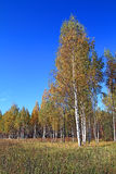 Birch on autumn field Royalty Free Stock Photo